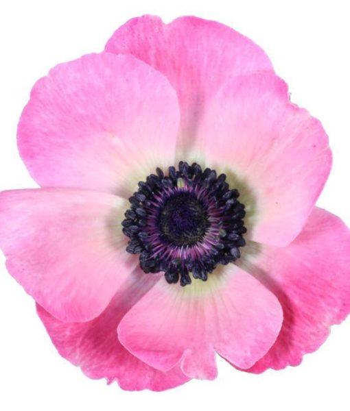 102153 510x600 - Anemone Flowers 100 stems