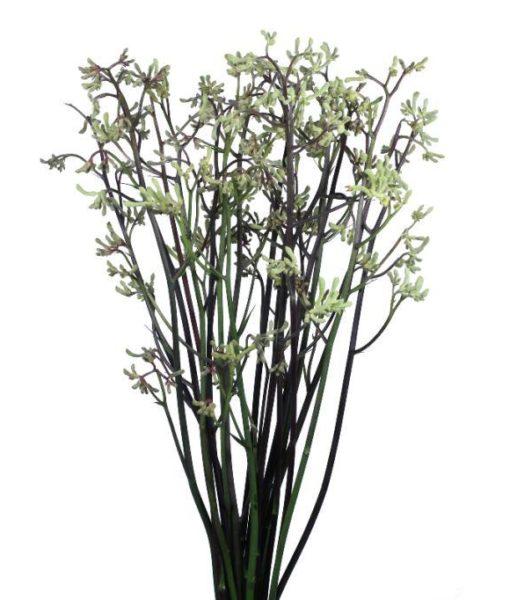 1161 510x600 - Kangaroo Paw Flowers 120 stems
