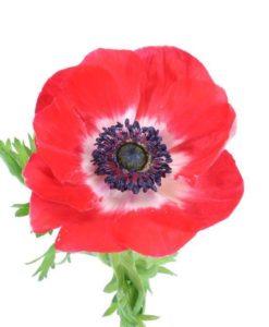 1880 247x300 - Anemone Flowers 100 stems