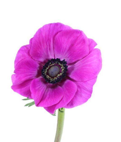 1898 510x600 - Anemone Flowers 100 stems