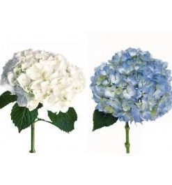 293815772 247x265 - White and Blue Hydrangea 30 stems Wholesale Flowers