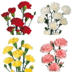 293816128 250x248 - Assorted Mini Carnation Flower