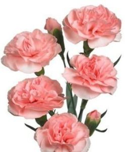 293816180 247x300 - Pink Mini Carnation Flower in Wholesale Bulk