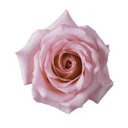 293816544 - Dark Engagement Pink Roses