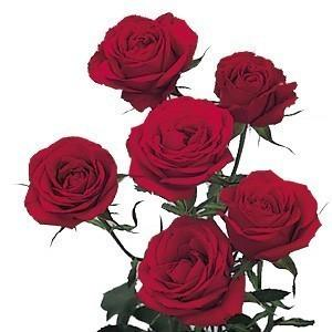 293816724 - Red Spray Roses 10 Bunches