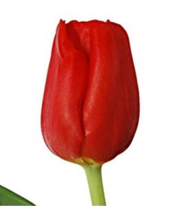 293816820 247x300 - Red Tulip BulkFlowers