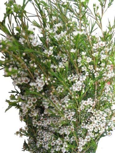 293816844 375x500 - White Wax Flower Wholesale Wedding Flowers