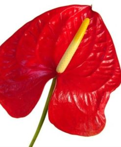 294570927 247x300 - Red Anthurium Flower
