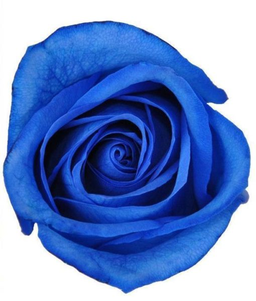 294757148 510x600 - Blue Tinted Roses