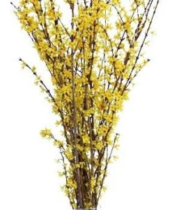 373058167 247x300 - Forsythia Yellow Flowering Branches