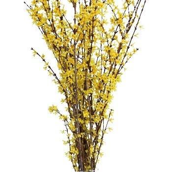 373058167 - Forsythia Yellow Flowering Branches