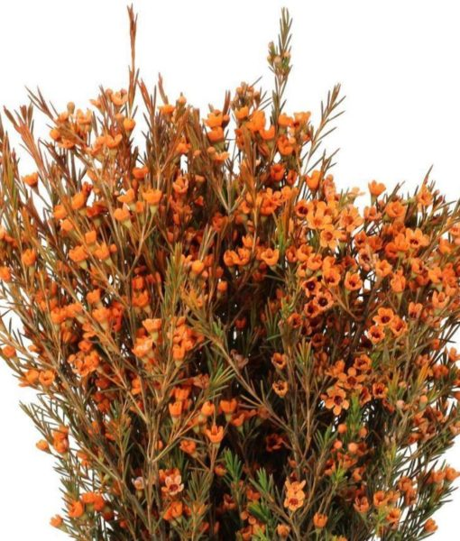 429576881 510x600 - Orange Tinted Wax Flower Wholesale Flowers