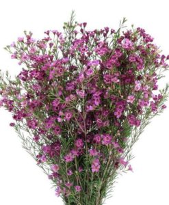 429576992 247x300 - Purple Wax Flower Wholesale Flowers