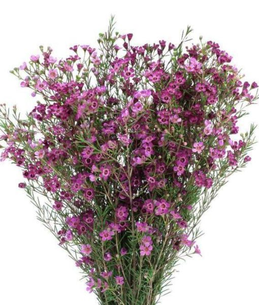 429576992 510x600 - Purple Wax Flower Wholesale Flowers