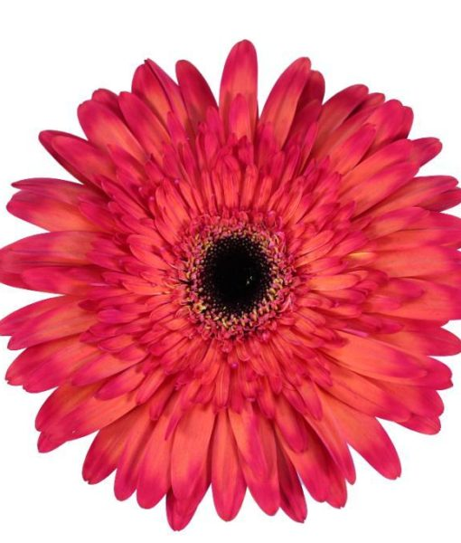 472 510x600 - Gerbera Daisy Tinted 50 stems