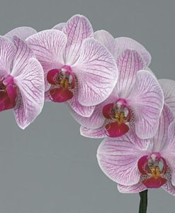 487469299 247x300 - Lavender Phalaenopsis Butterfly Orchid Flower 10 stem