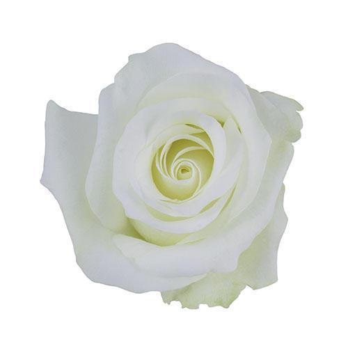 Akito Rose
