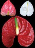 Anthurium Tropical Flowers