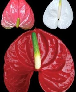 Anthurium Tropical Flowers
