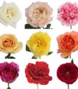 Assorted Garden Rose