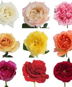 Assorted Garden Rose