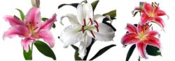 Assorted Lily flower