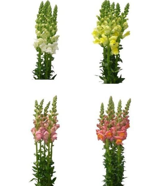 Assorted Snapdragon Flower