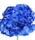 Blue Tinted Hydrangeas