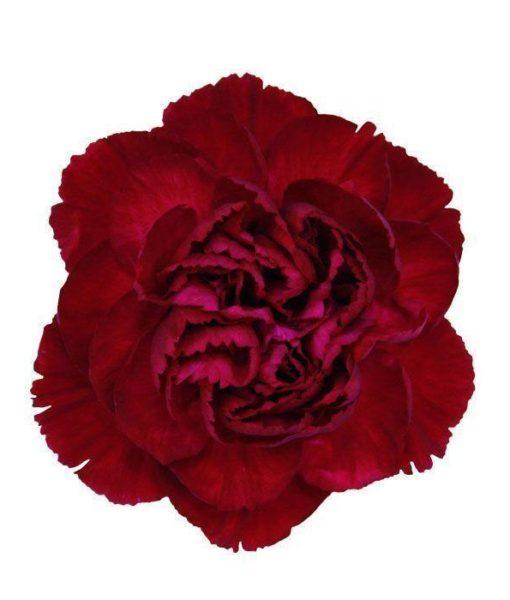 Burgundy Carnation
