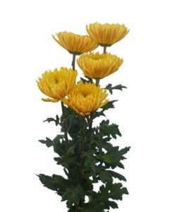 Chrysanthemums Cremon Yellow