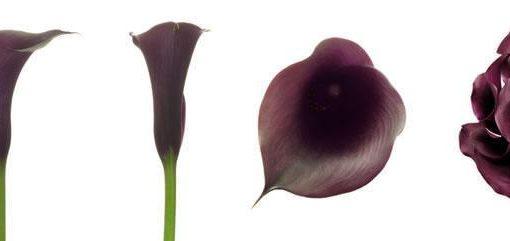 Dark Purple Mini Calla Lily