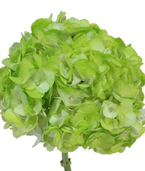 Green Tinted Hydrangeas
