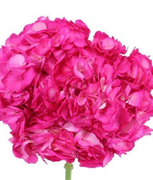 Hot Pink TInted Hydrangeas