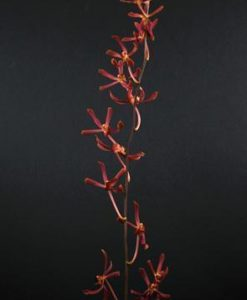 James Storie Red Spray Orchids