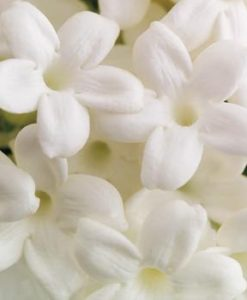 Jasmine Stephanotis