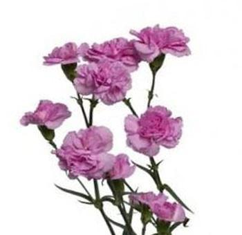 Lavender Miniature Carnation Spray