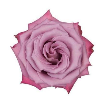 Lavender Moody Blue Rose