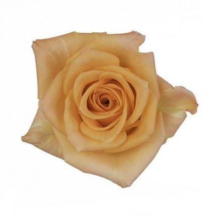 Light Orange Rose