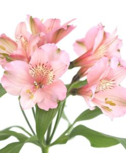 Light Pink Alstromeria