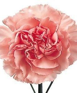 Light Pink Carnations