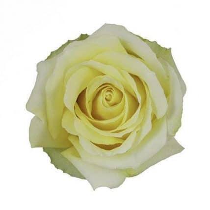 Light Yellow Roses