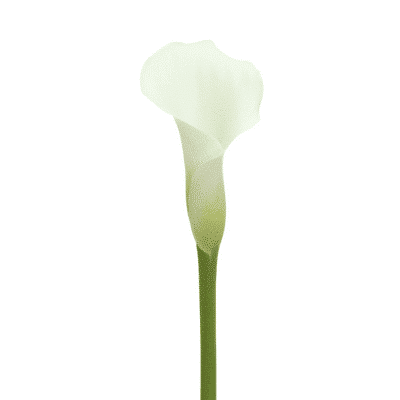 Long stemmed Calla Lily White