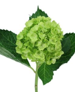 Mini Green Hydrangea flower