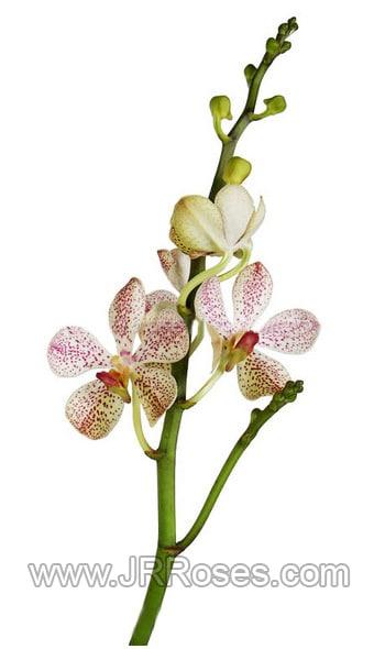 White-Pink Mokara Orchids