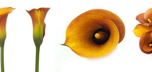 Orange Mini Calla Lily