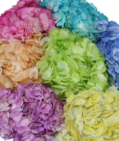 Pastel Colors tinted hydrangeas