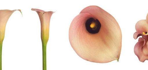 Peach Mini Calla Lily