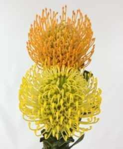 Pincushion Tropical Flower