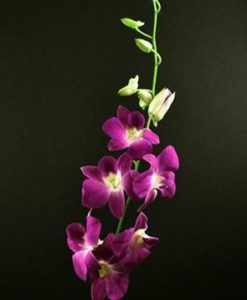 Pink Dendrobium Orchids
