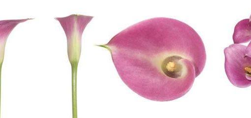 Pink Mini Calla Lily